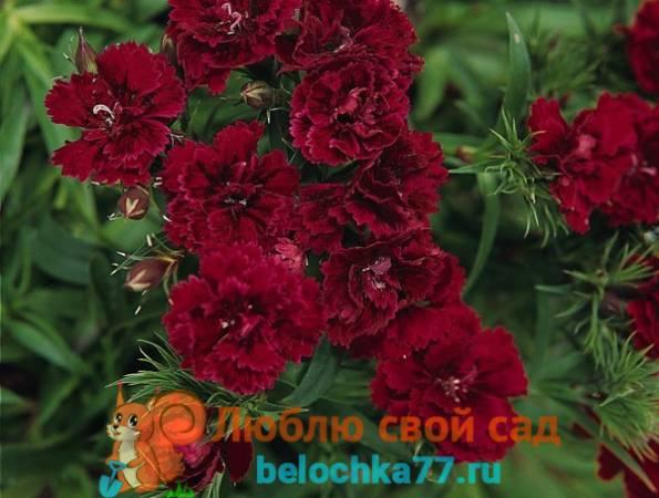 Турецкая гвоздика - выращивание из семян, когда сажать