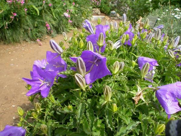 Колокольчик Карпатский: описание, фото, посадка и уход, выращивание из семян