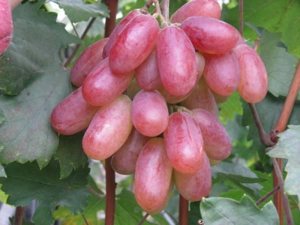 Выращивание винограда Юбилей Новочеркасска: описание сорта, фото, отзывы садоводов, видео