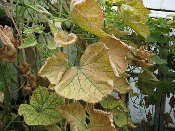 Чем обработать огурцы от болезней и вредителей народными средствами