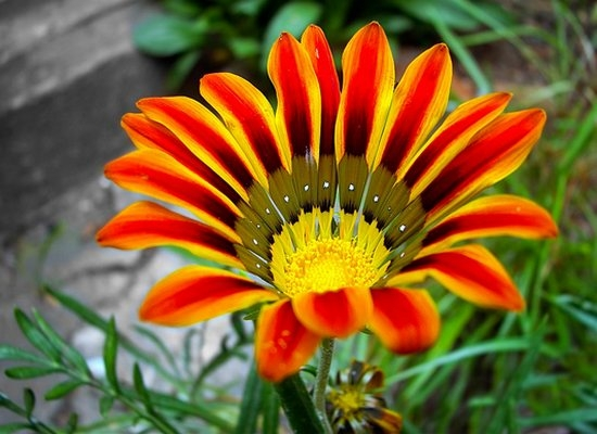 Цветок - Газания: описание, фото, посадка и уход в домашних условиях