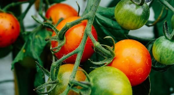 Применение скошенной травы как мульчирующего материала для томатов в теплице и открытом грунте