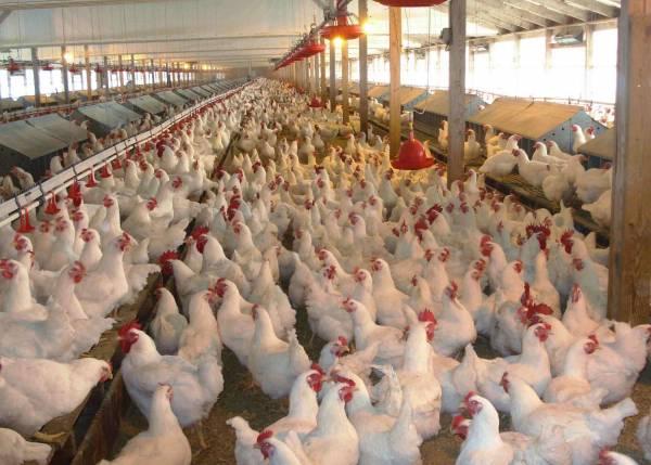 Суточная норма корма для кур-несушек