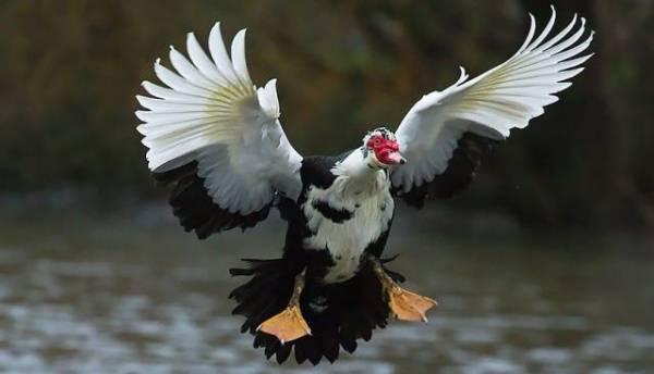 Мускусная утка: фото, описание породы, инкубация