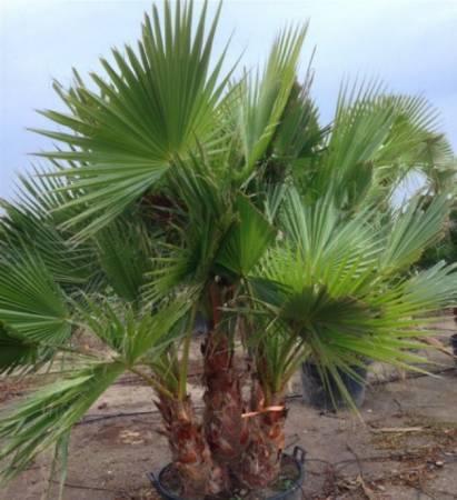 Перечень видов пальм с фото и описанием
