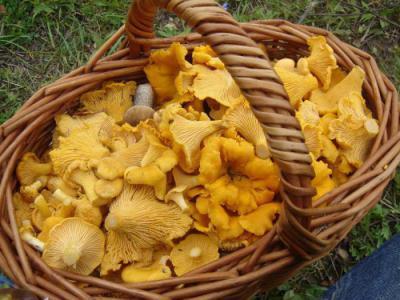 Лисички (грибы): лечебные свойства
