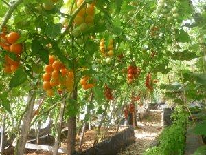 Помидоры черри: как выращивать лучшие сорта в теплице