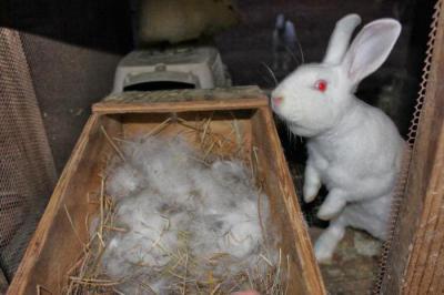 Как размножаются кролики, сколько ходят беременными, особенности окрола
