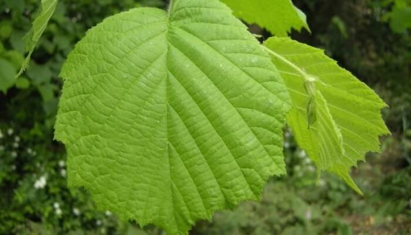 Дерево лещина обыкновенная