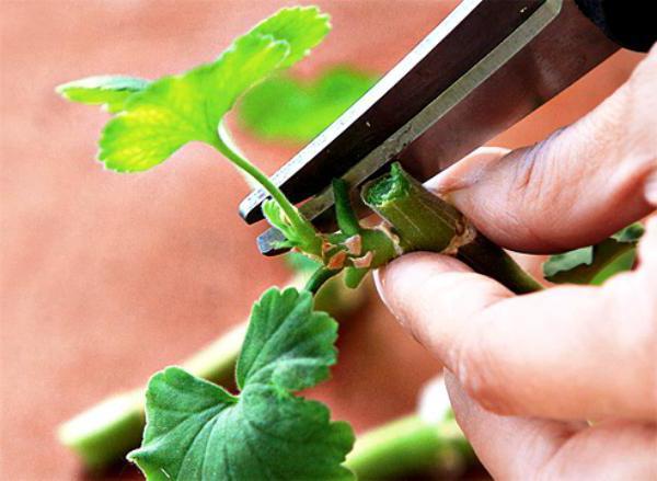 Герань королевская: обрезка для пышного цветения, уход и размножение в домашних условиях