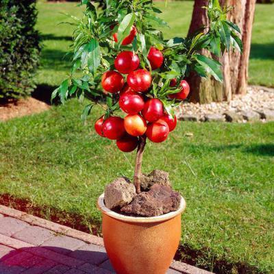Подвой – это основа плодового дерева