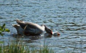 Как сделать своими руками пруд для гусей и уток