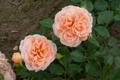 Лучшие сорта желтых роз: описание и фото