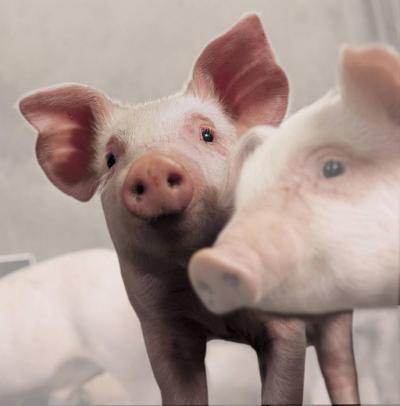 Пастереллез свиней: симптомы, лечение и вакцинация