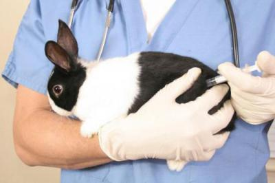 Пастереллез кроликов (геморрагическая септицемия): пути заражения, симптомы, лечение, профилактика