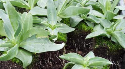 Цветы лизиантус: размножение, посадка, выращивание и уход
