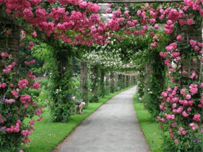 Как отличить розу от шиповника по листьям и цветкам? Саженцы розы и шиповника: фото