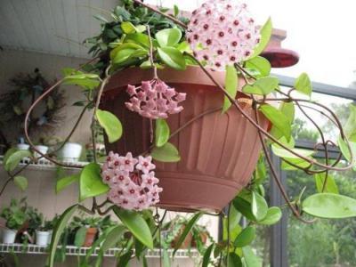 Хойя (цветок): как ухаживать в домашних условиях, особенности пересадки и рекомендации