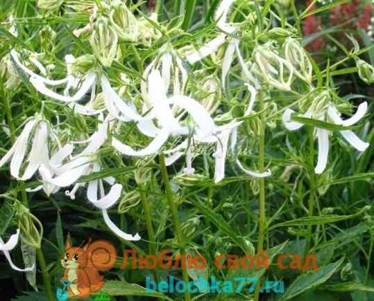 Колокольчик - выращивание из семян, когда сажать