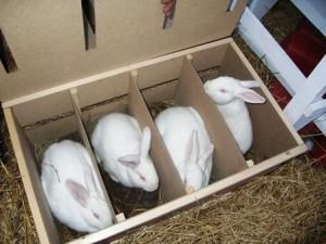 Как правильно выращивать кроликов