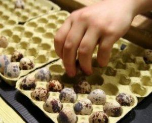 Инкубация перепелиных яиц или как получить молодняк перепелов