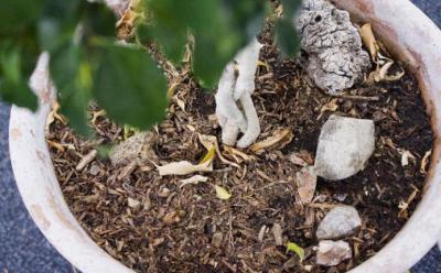 Фикус Мокламе: выращивание и уход