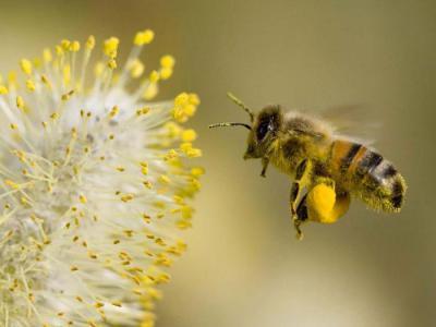 Какие пчелиные продукты полезны