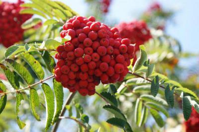 Рябина: сорта и виды, саженцы, выращивание
