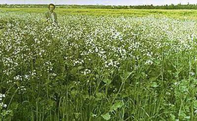 Масленичная редька в качестве удобрения: посев культуры