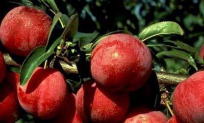 Яблоки медовые: описание, сорта, особенности ухода и выращивание
