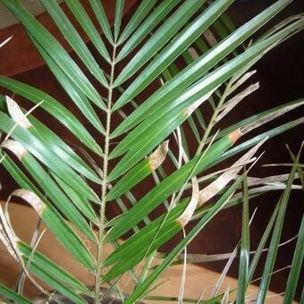 Болезни финиковой пальмы: пожелтение и усыхание листьев