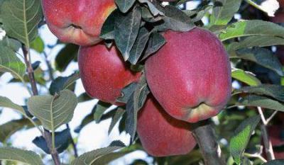 Сорт Старкримсон (яблоня): описание, фото, особенности выращивания