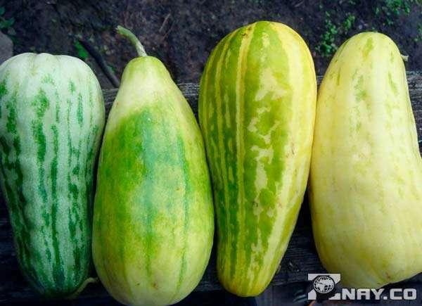 Огурдыня: что это за овощ, специфика выращивания и приготовления