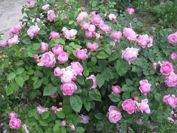 Роза МЭРИ РОУЗ «Mary Rose»: фото и описание, а также отзывы о прекрасных цветах