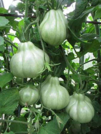 Томат инжир розовый: особенности и преимущества выращивания