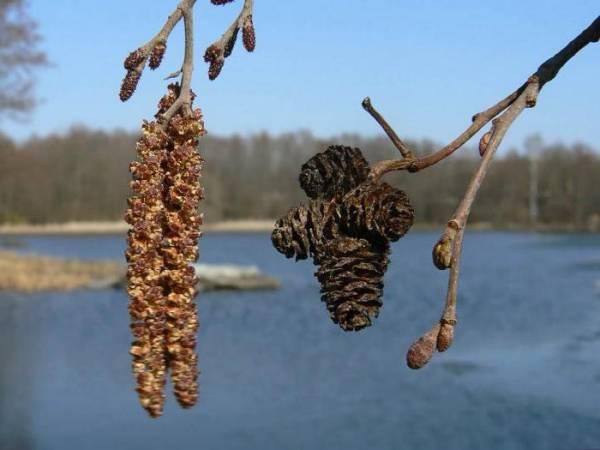 Ольха серая: описание, фото дерева и листьев