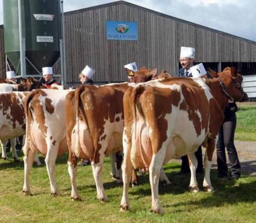 Корова айрширской породы: описание, характеристика, отзывы
