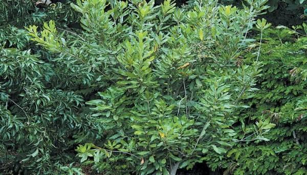 Дерево макадамия трехлистная и её орех