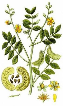 Александрийский лист – эффективное средство от многих болезней