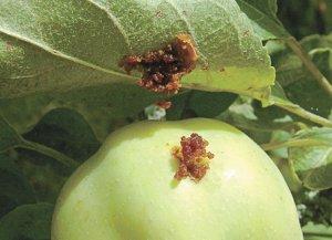Яблонная плодожорка: методы, средства и препараты для борьбы с вредителем