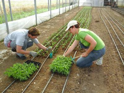 Размножение хризантем: разные методы, особенности, пошаговая инструкция черенкования