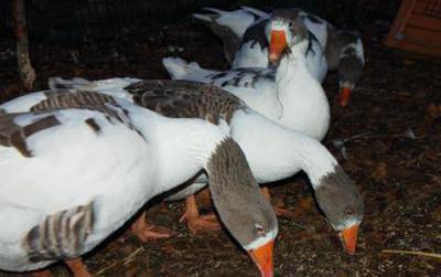 Птицеводство: содержание гусей зимой