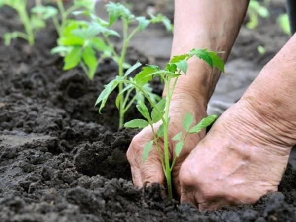 Томат большая мамочка: отзывы огородников, особенности выращивания, описание и характеристики