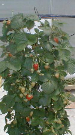 Клубника вьющаяся: отзывы, особенности ухода и урожайность
