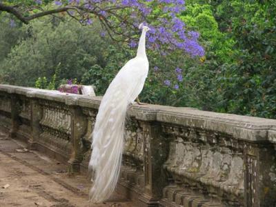 Летает ли павлин - самая красивая птица на земле? Где обитает, как выглядит и чем питается