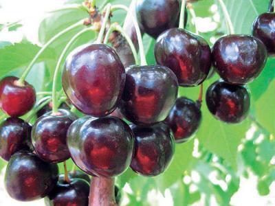 Черешня Любимица Астахова: описание сорта, особенности выращивания
