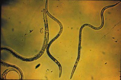 Что такое нематоды в почве? Борьба с ними