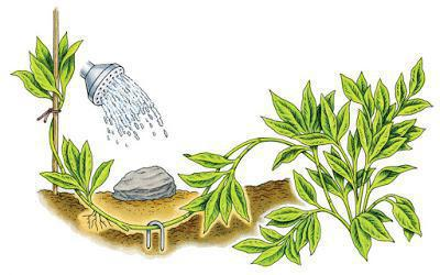 Шалфей: выращивание в открытом грунте, особенности посадки и ухода
