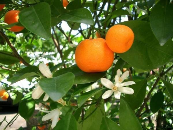 Совет 1: Как ухаживать за мандарином дома