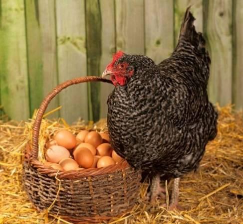 Способы увеличения яйценоскости кур: секреты фермеров
